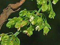Polygonaceae - Rumex crispus-1 (8303634985).jpg