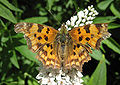 Polygonia c-album spread wings.jpg
