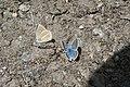 Polyommatus damon, Queyras - img 19156.jpg