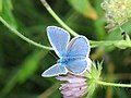 Polyommatus icarus ♂ - Common blue (male) - Голубянка икар (самец) (27163710198).jpg