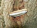 Polypore fungus, Dyrham Wood (1) - geograph.org.uk - 479053.jpg