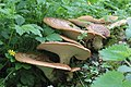 Polyporus squamosus, Gower, Wales.jpg