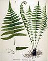 Polystichum oreopteris — Flora Batava — Volume v19.jpg