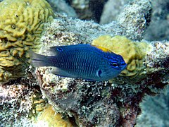 Indian damselfish (Pomacentrus indicus)