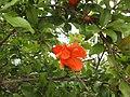 Pomegranate flower 03.jpg