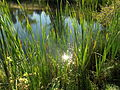 Pond, cattail grass, sunlight.JPG