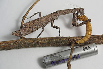 Popa spurca - Popa spurca eating a mealworm; the AAA battery is shown for size comparison