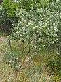 Populus alba Topola biała 2020-06-29 03.jpg