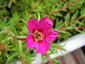 Portulaca grandiflora flower.jpg