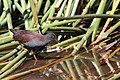 Porzana tabuensis -Coolart Wetlands, Mornington Peninsula, Victoria, Australia-8.jpg