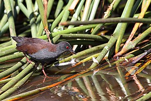Porzana tabuensis -Coolart Wetlands, Mornington Peninsula, Victoria, Australia-8.jpg