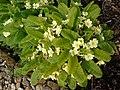 Primula vulgaris.003 - Wick (Gloucestershire).jpg
