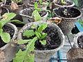 Primula vulgaris young plant 2.JPG