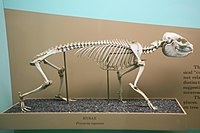 Procavia capensis skeleton.jpg