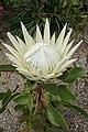 Protea cynaroides 'Arctic Ice' kz3.jpg