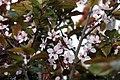 Prunus cerasifera Thundercloud 15zz.jpg