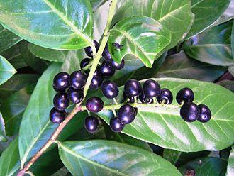 Prunus laurocerasus - Prunus laurocerasus fruits.
