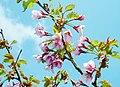 Prunus nipponica Matsumura Takanezakura in sannomine 2003 6 8.jpg