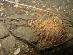Psammechinus miliaris Twin Piers (Loch Long) 2.jpg