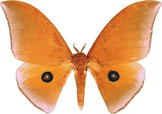 <i>Pseudobunaea alinda</i> species of insect