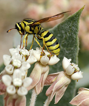 Pollen wasp - Image: Pseudomcoquill