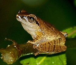 Critically endangered Pseudophilautus amboli in Mhadei Wildlife Sanctuary