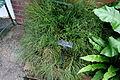 Psilotum nudum - Longwood Gardens - DSC01149.JPG