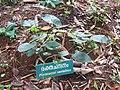 Pterocarpus santalinus - രക്ത ചന്ദനം.jpg