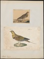 Pterocles alchata - 1700-1880 - Print - Iconographia Zoologica - Special Collections University of Amsterdam - UBA01 IZ16900029.tif