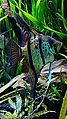 "Pterophyllum scalare - ""Rio Nanay"" - souche sauvage - Aqua Porte Dorée 01.JPG"