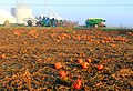 Pumpkin Patch on Schettenhelm Farm, 1200 Stoney Creek Road, York Township, Michigan - panoramio.jpg