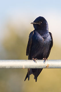 Purple martin species of bird