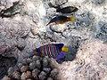 Pygoplites diacanthus или королевская рыба-ангел.. DSCF0361ВЕ.jpg