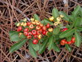 Pyracantha coccinea berries.jpg