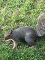 Queen Squirrel.JPG