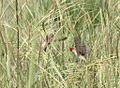 Quelea erythrops, Rio Savanne, Birding Weto, a.jpg
