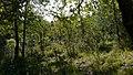 Quercus canariensis20950.jpg