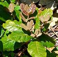 Quercus costaricensis 2.jpg
