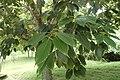 Quercus glauca kz01.jpg