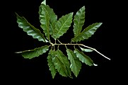 Quercus olgethorpensis (23511552173).jpg