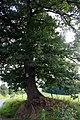 Quercus robur - Scoville - JPG2.jpg