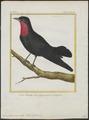 Querula purpurata - 1700-1880 - Print - Iconographia Zoologica - Special Collections University of Amsterdam - UBA01 IZ16600117.tif