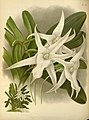 R. Warner & B.S. Williams - The Orchid Album - volume 11 - plate 518 (1897).jpg