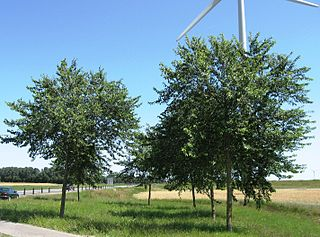 <i>Ulmus</i> × <i>hollandica</i> Pioneer Elm cultivar