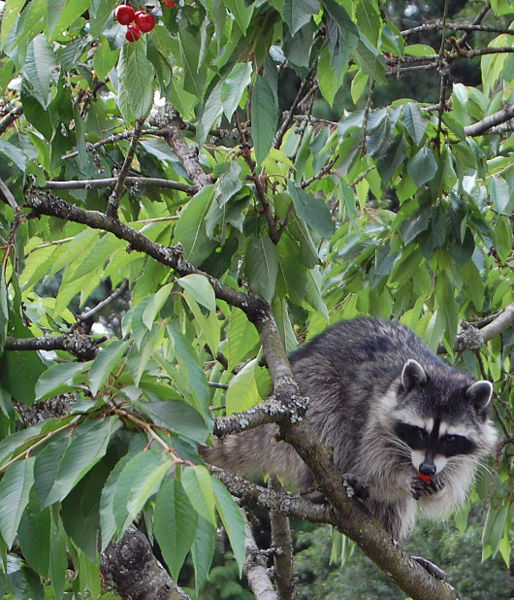 File:RaccoonMotherEatingCherry.jpg