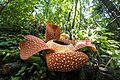 Rafflesia arnoldii Bengkulu 02.jpg