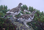 Two grouses with white lower part and brown upper part.