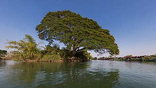 Rain tree on a river bank in Si Phan Don.jpg