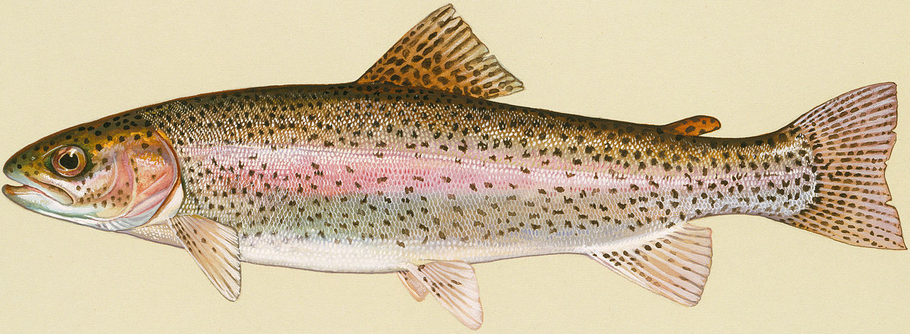 Image result for rainbow trout wikimedia