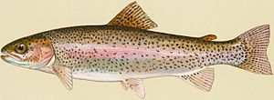 Trout - Oncorhynchus: rainbow trout, O. mykiss
